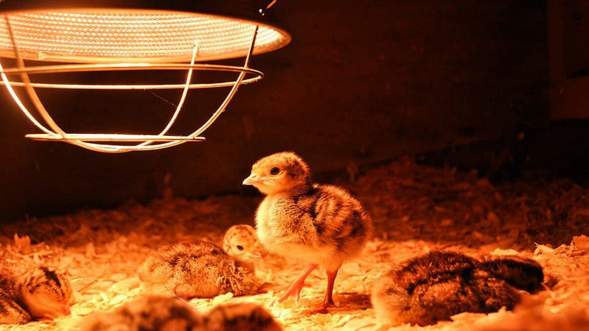 هیتر برقی صنعتی برای مرغداری